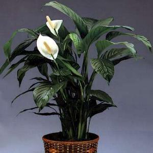spathiphyllum-089b